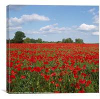 Poppy Field, Northamptonshire, England, Canvas Print