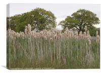 Rushes of a streambed, Bedfordshire, Canvas Print