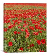 Poppies, poppies, poppies, Canvas Print