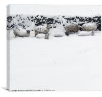 Sheep sheltering in snow, Canvas Print