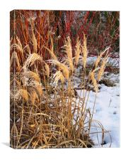 Bleached grasses in snow, Canvas Print