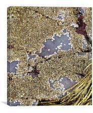 Sea rocks with tiny shells, Canvas Print