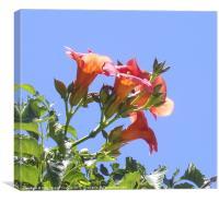 Pelagonia, unusual orange red, Greece, Canvas Print