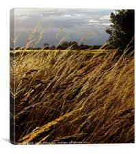 Windswept grasses Cranfield Airport, Canvas Print