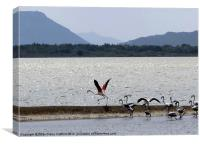 Flamingo take-off, Gialova Lagoon, Greece, Canvas Print