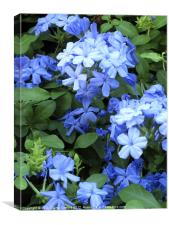 Blue Plumbago, Athens, Greece, Canvas Print