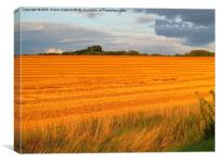 Sun kissed freshly cut fields, Easton Maudit, Nor, Canvas Print