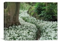Wild Garlic (Ransom) secret pathway Cumbria, Lakes