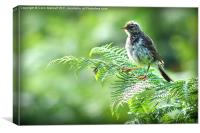 Fledgling Meadow Pipit, [Anthus Pratensis], Canvas Print