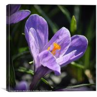 Mauve Crocus, Canvas Print