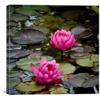 Pink Water Lilies, Canvas Print
