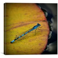 An Azure Damselfly, Canvas Print