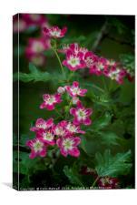 Pink Hawthorn Blossom, Canvas Print
