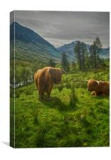 Highland Coos, Canvas Print