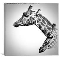 Giraffes In Black And White, Canvas Print