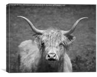 Highland cow 1, Canvas Print