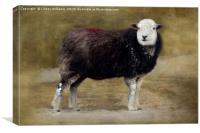 Herdwick sheep, Canvas Print