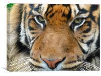 Close up tiger, Canvas Print