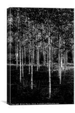 Silver Birches, Canvas Print