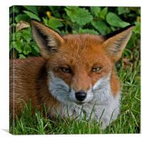 Foxy, Canvas Print
