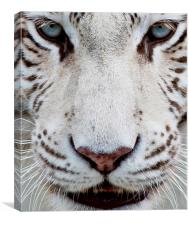 EYES OF THE WHITE TIGER, Canvas Print
