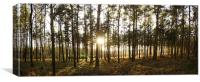 Sunset in Pine, Canvas Print