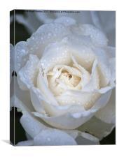Soft Rose, Canvas Print