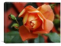 Rosey, Canvas Print