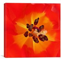 Tulip heart, Canvas Print