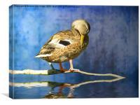 Sleeping Duck, Canvas Print