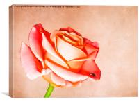 Lady Rose, Canvas Print