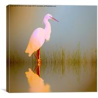 Egret in sunlight, Canvas Print