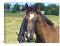 Young Male Foal, Canvas Print