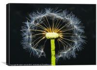 snowflake dandelion, Canvas Print