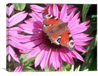 Peacock Butterfly on Echinacea Flower, Canvas Print