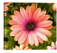 Osteospernum flower.  Summer 2010, Canvas Print