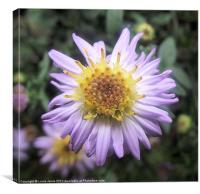 Lilac Michaelmas Daisy, Canvas Print