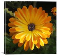 Old fashioned Marigold., Canvas Print