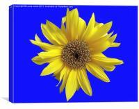 Dwarf Sunflower on a Blue Background, Canvas Print