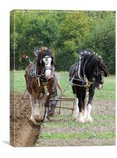 Shire Horses in Ploughing Competition, Canvas Print