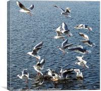 Gulls at Longmoor