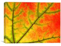Sycamore leaf close up