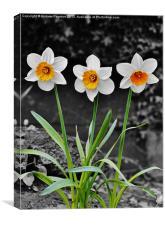 Daffodil Isolation