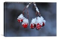 Snowy Rosehip