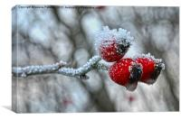 Snow Capped Rose Hip, Canvas Print