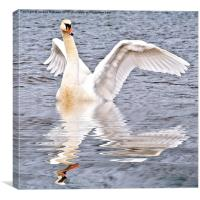 Flapping Swan, Canvas Print