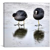 Two Coots On Ice, Canvas Print
