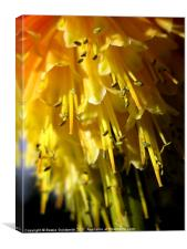 Red Hot Poker Flower, Canvas Print