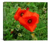 Red Corn Poppy, Canvas Print