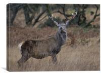 Red deer stag, Glen Etive, Canvas Print